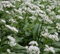Massed Ramsons, a wild garlic