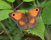 Gatekeeper/Hedge Brown