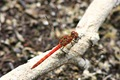 Inappropriately named Common Darter (I think)