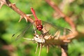 The business end of a Ruddy Darter