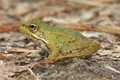 Froglet profile