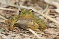 Froglet portrait