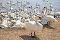 IMG_5852_Massed_Swans