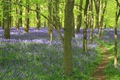 Bluebell_Path