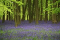 Bluebell_Wood