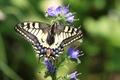 IMG_6003_Swallowtail