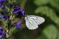IMG_6196_Black-veined_White