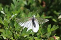 IMG_6205_Black-veined_White