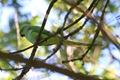 IMG_7700_Ring-necked_Parakeet