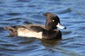 IMG_7722_Tufted_Duck