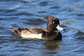 IMG_7723_Tufted_Duck