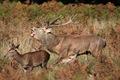 IMG_7740_Red_Deer