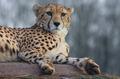 IMG_8175_Cheetahs