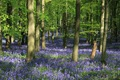 IMG_9016_Bluebell_Wood
