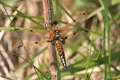 IMG_9461_Four-spotted_Chaser