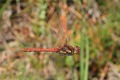 IMG_2340_Common_Darter_in_f
