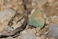 IMG_9087_Green_Hairstreak