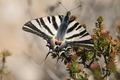 IMG_9113_Spanish_Swallowtail