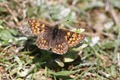 IMG_0120 Duke of Burgundy