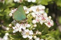 IMG_0122 Green Hairstreak