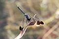 J01_2079 Sapphire Flutterer