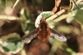 IMG_9423 Bee-fly