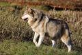 J15_0077 Wolf